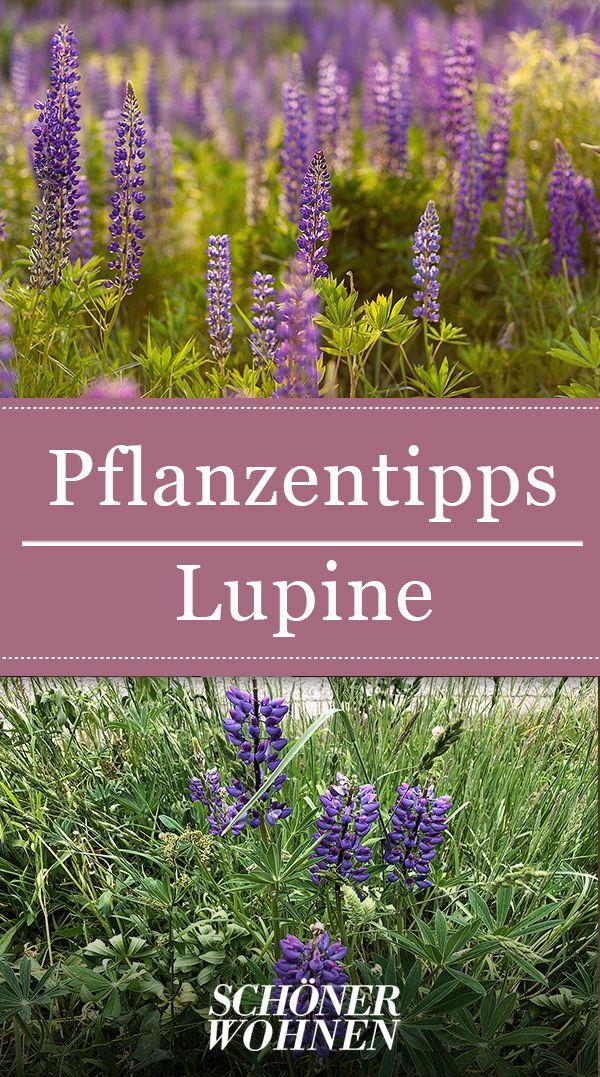 Lupine – pflanzen, pflegen, vermehren