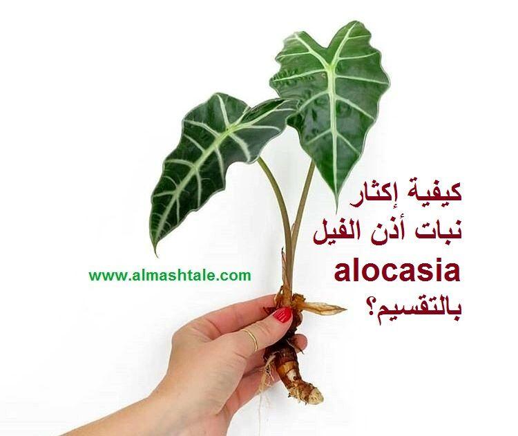 نبات أذن الفيل Alocasia من النباتات الداخلية الجميلة التي تزرع لجمال أوراقها ومنظرها الإستوائي الرائع النبات أصله من جنو Herbs Green