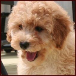 Bich Poo Poochon Bichon Poodle Puppies For Sale Iowa Poodle Puppies For Sale Poodle Puppy Puppies For Sale