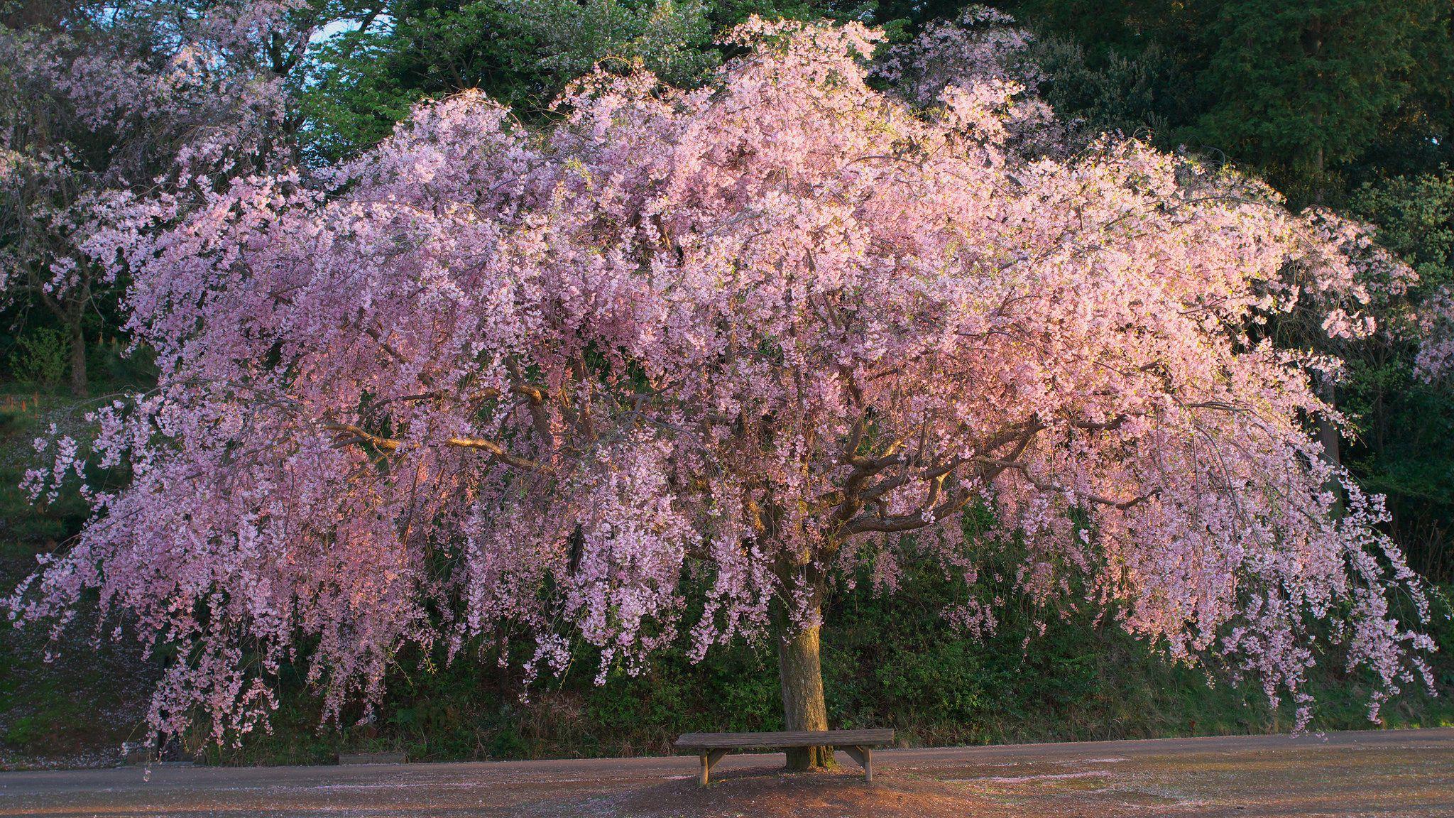 Japanese Flowering Cherry Tree Species Ehow Flowering Cherry Tree Yoshino Cherry Tree Japanese Cherry Tree