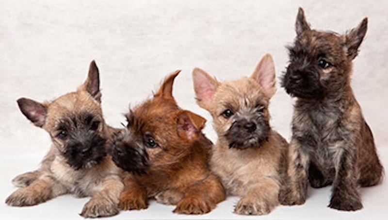 Cairn Terrier Colours Cairn Terrier Cairn Terrier Puppies