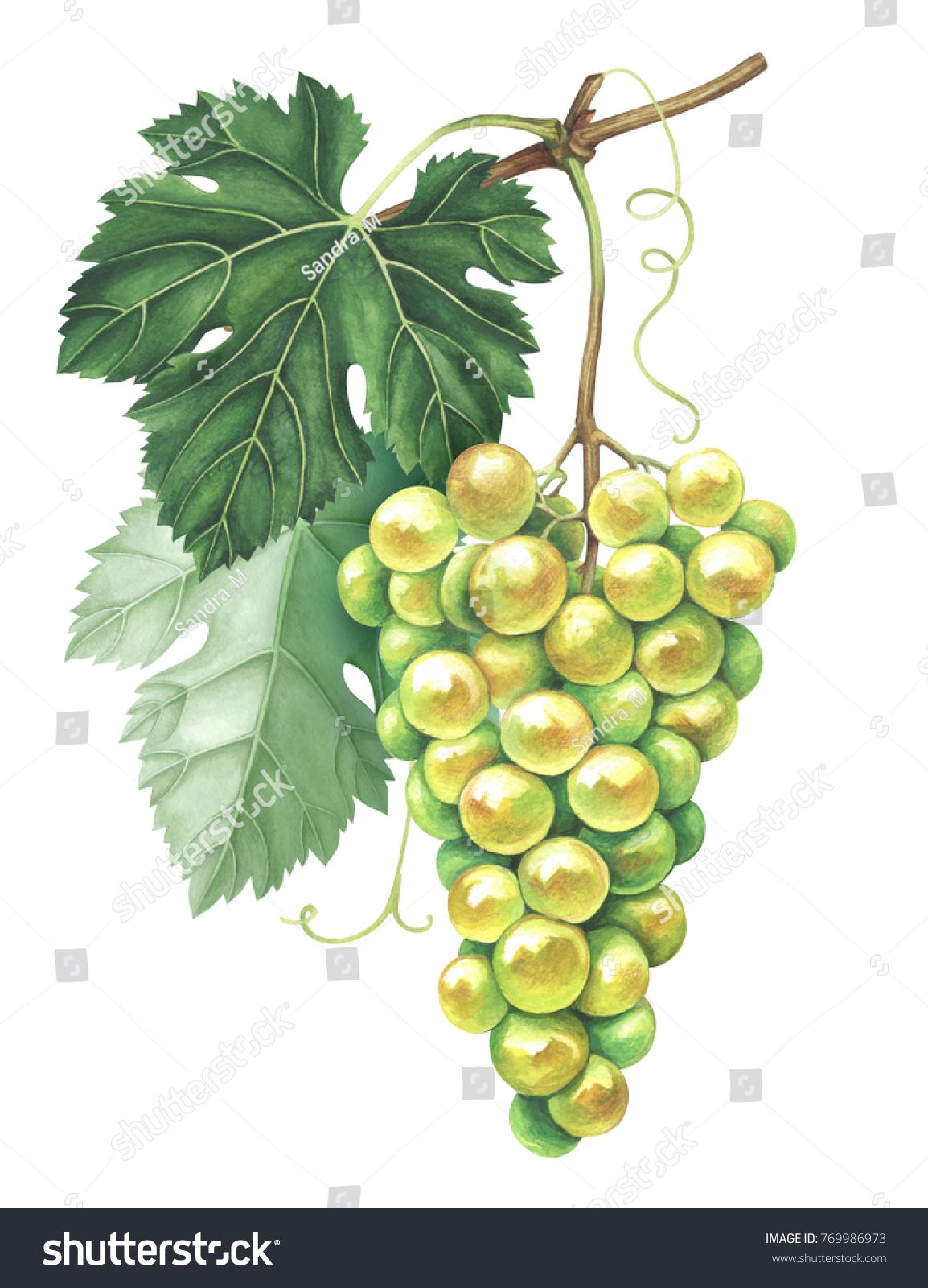 Bunch of green grapes isolated on white background. Hand