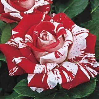 Red Dragon Rose