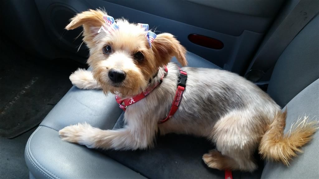 Helping Lost Pets Dog Yorkshire Terrier Yorkie Back Home