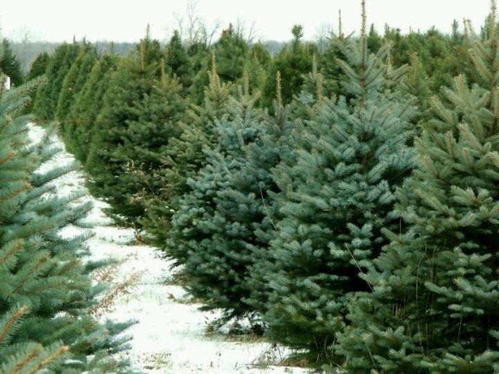 Christmas Tree Farm In Vt S Northeast Kingdom Live Christmas Trees Christmas Tree Guide Christmas Tree Lots