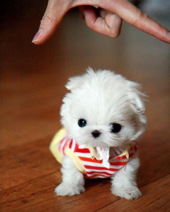 Where Is Your Manliness Now Cute Baby Puppies Cute Puppy Pictures Mini Puppies
