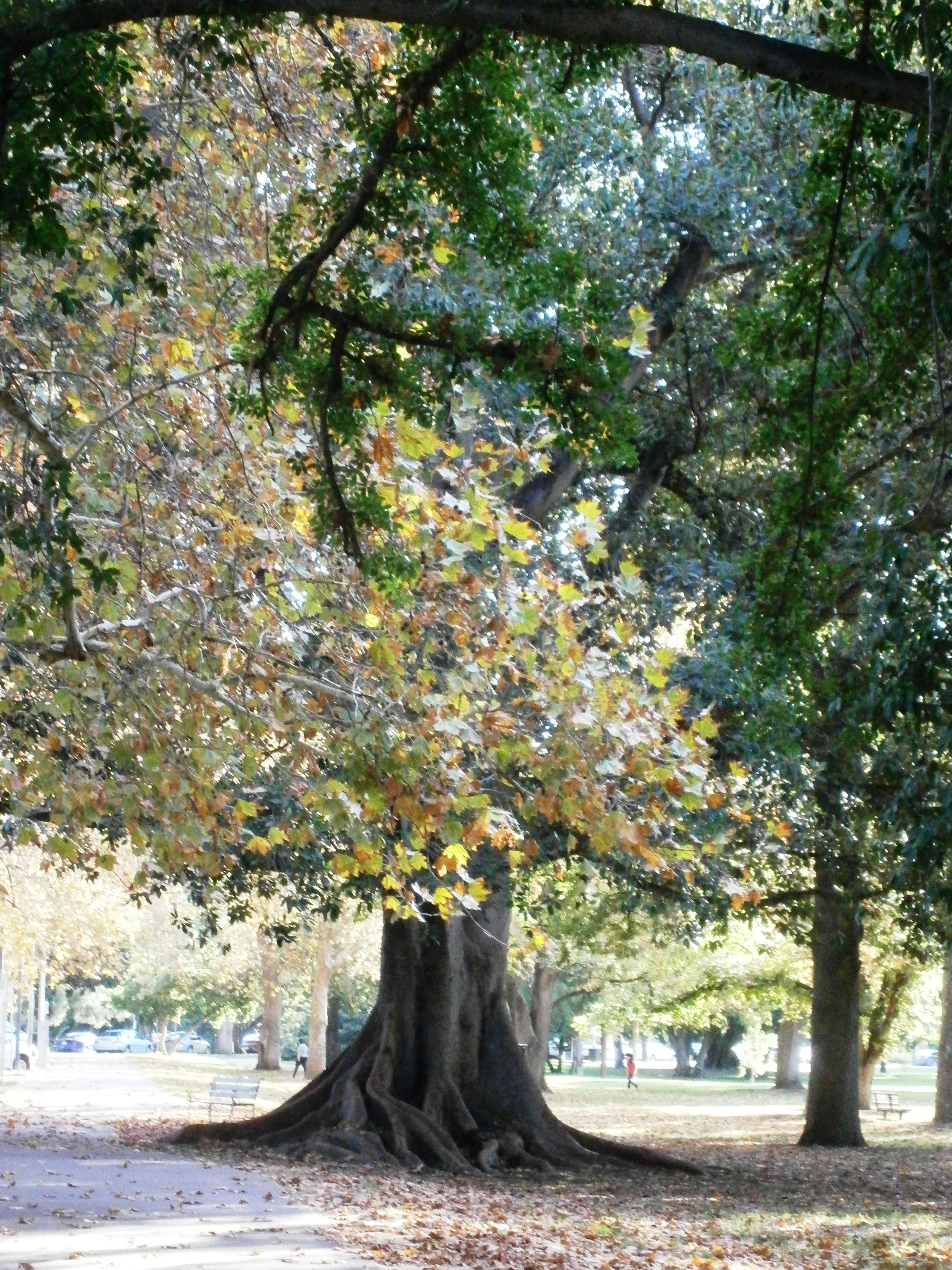Autumn Plane Tree Adelaide South Australia