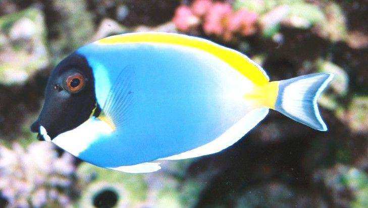 Acanthurus Leucosternon E Um Peixe Marinho Das Regioes Tropicais Pertencentes A Familia Acanthuridae Ou Peixes Cir Marine Fish Tropical Fish Marine Aquarium