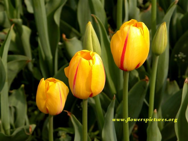 Yellow tulip flower picture fresh flowers pinterest tulip yellow tulip flower picture mightylinksfo Gallery