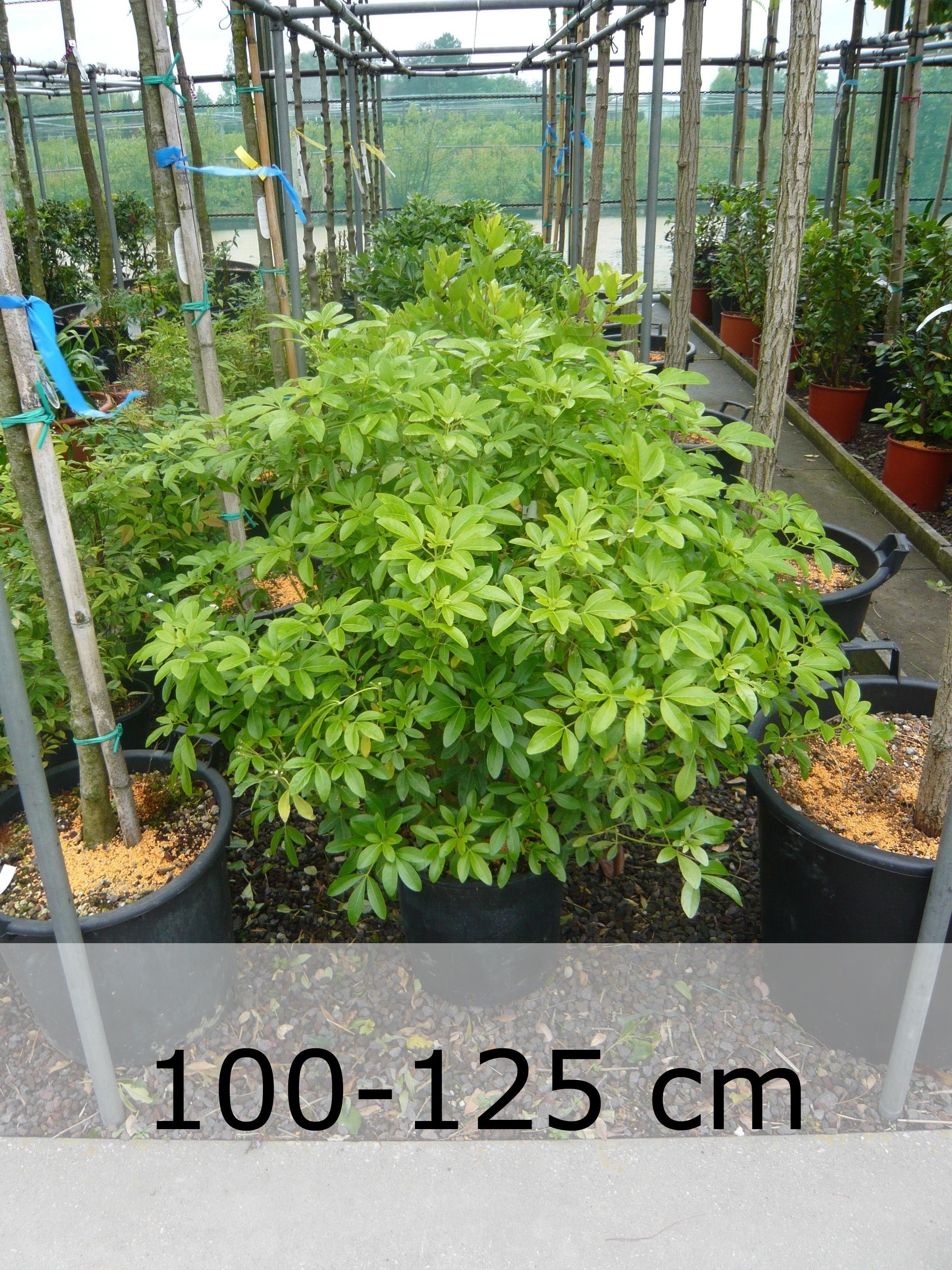 Choisya ternata / Orangenblume - kleiner Strauch (bis 2m) mit weißen ...