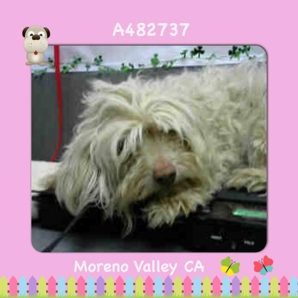 Danica A482737 Moreno Valley Ca Female White Maltese And