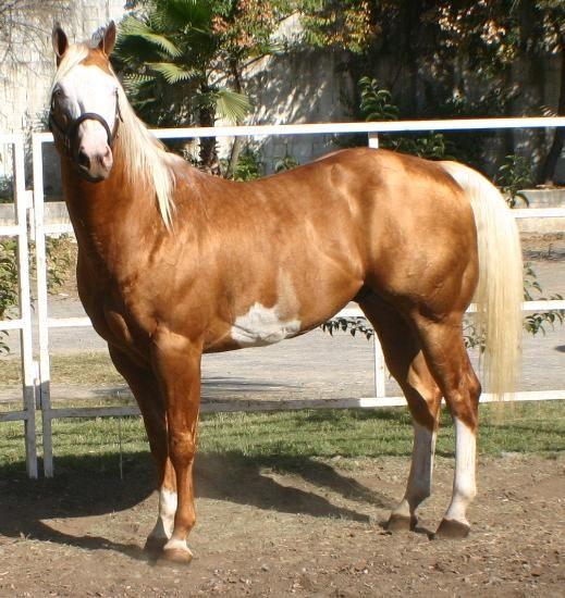 Caballos pintos y caballos cuarto de milla venta de for Caballos cuarto de milla