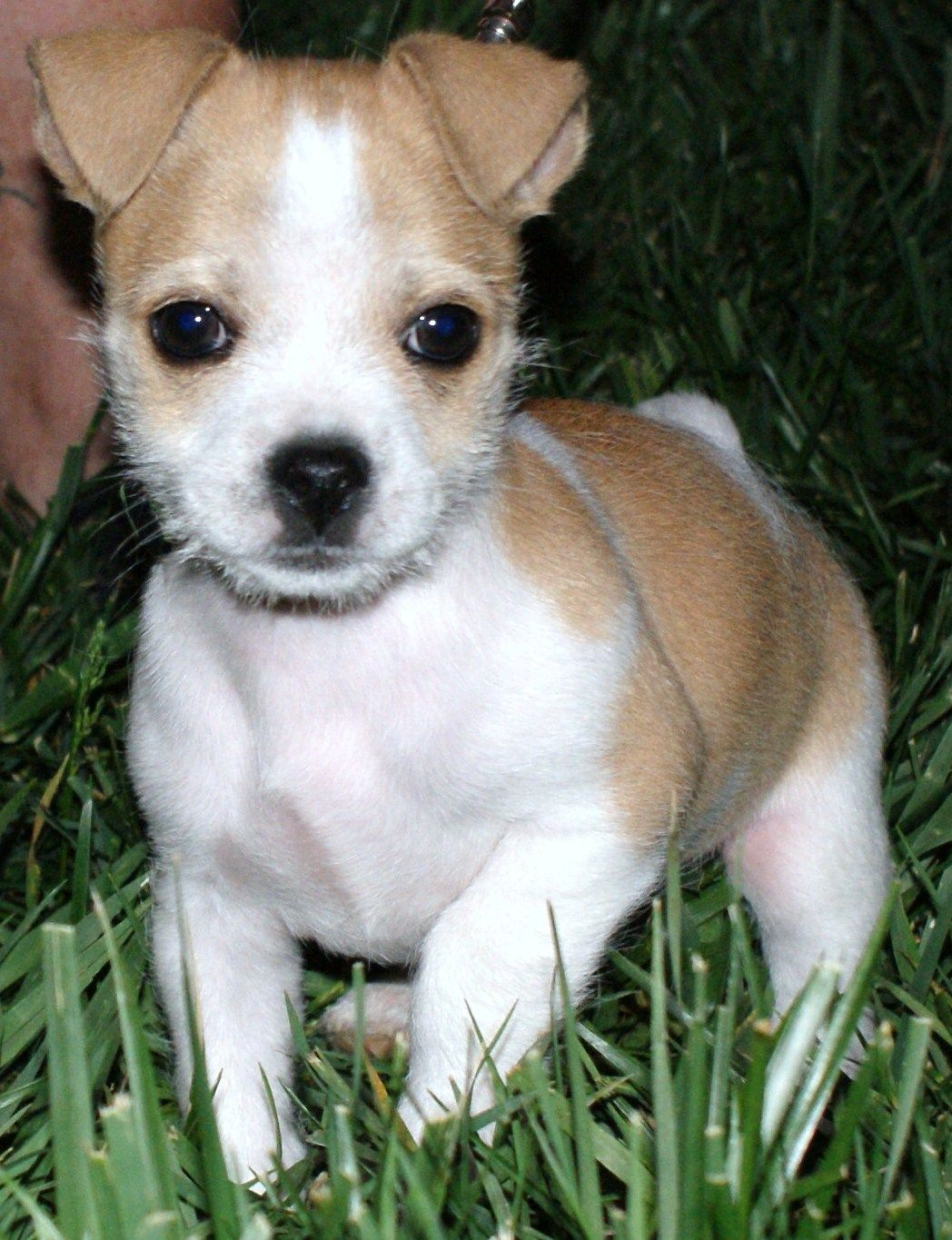 This Is Marvel He Is 10 Weeks Old He Is A Jack Russell Chihuahua