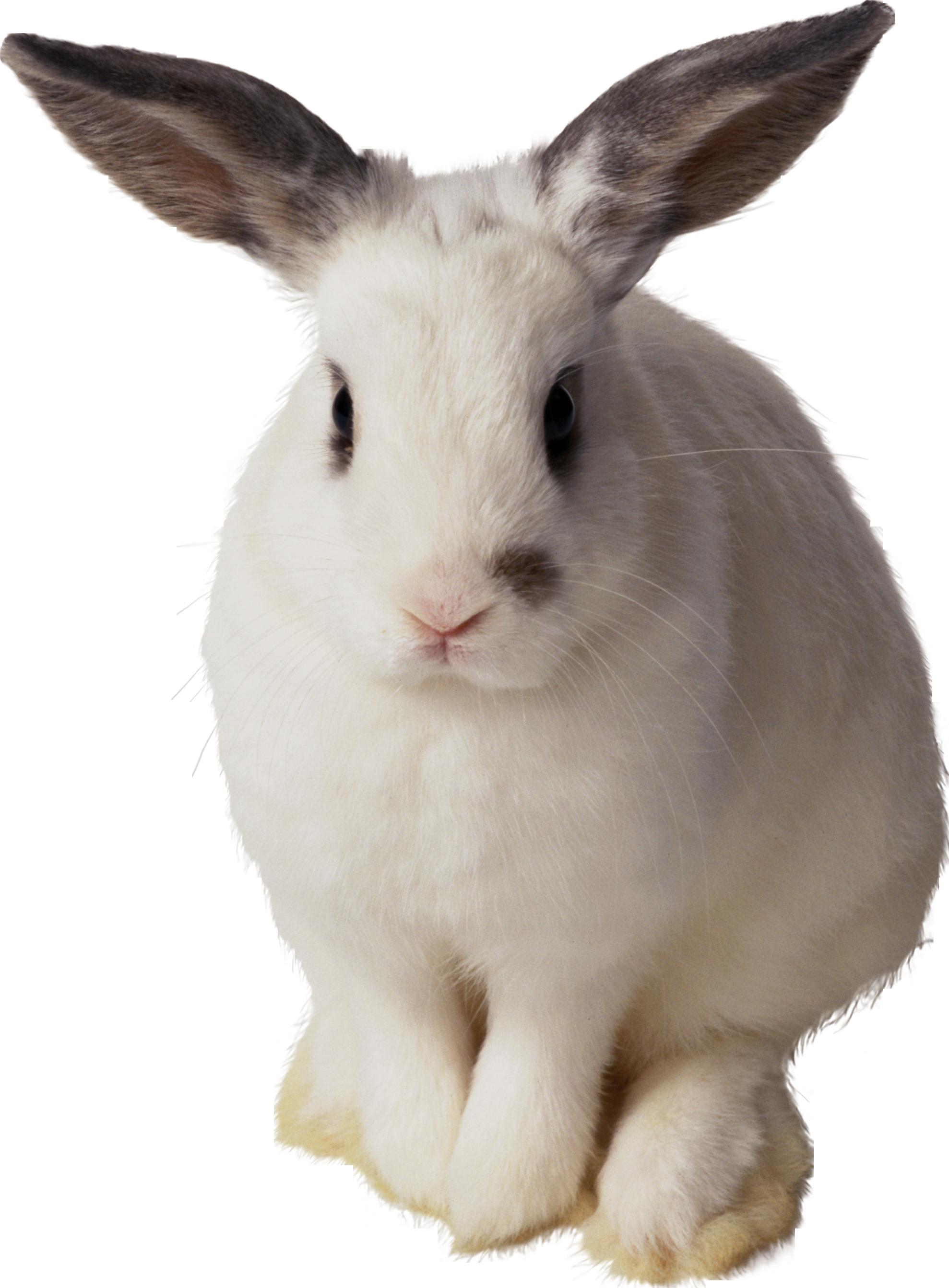 White Rabbit Png Image Rabbit Png Rabbit Animals
