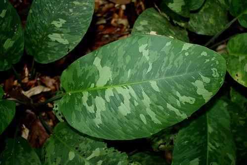 Schismatoglottis scortechinii
