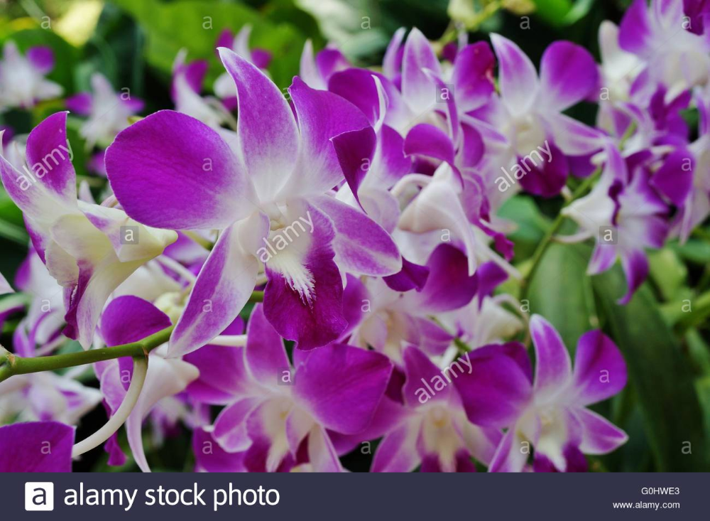 Dendrobium Orchid Flower Stock Photo In 2020 Orchid Flower Dendrobium Orchids White Dendrobium Orchids