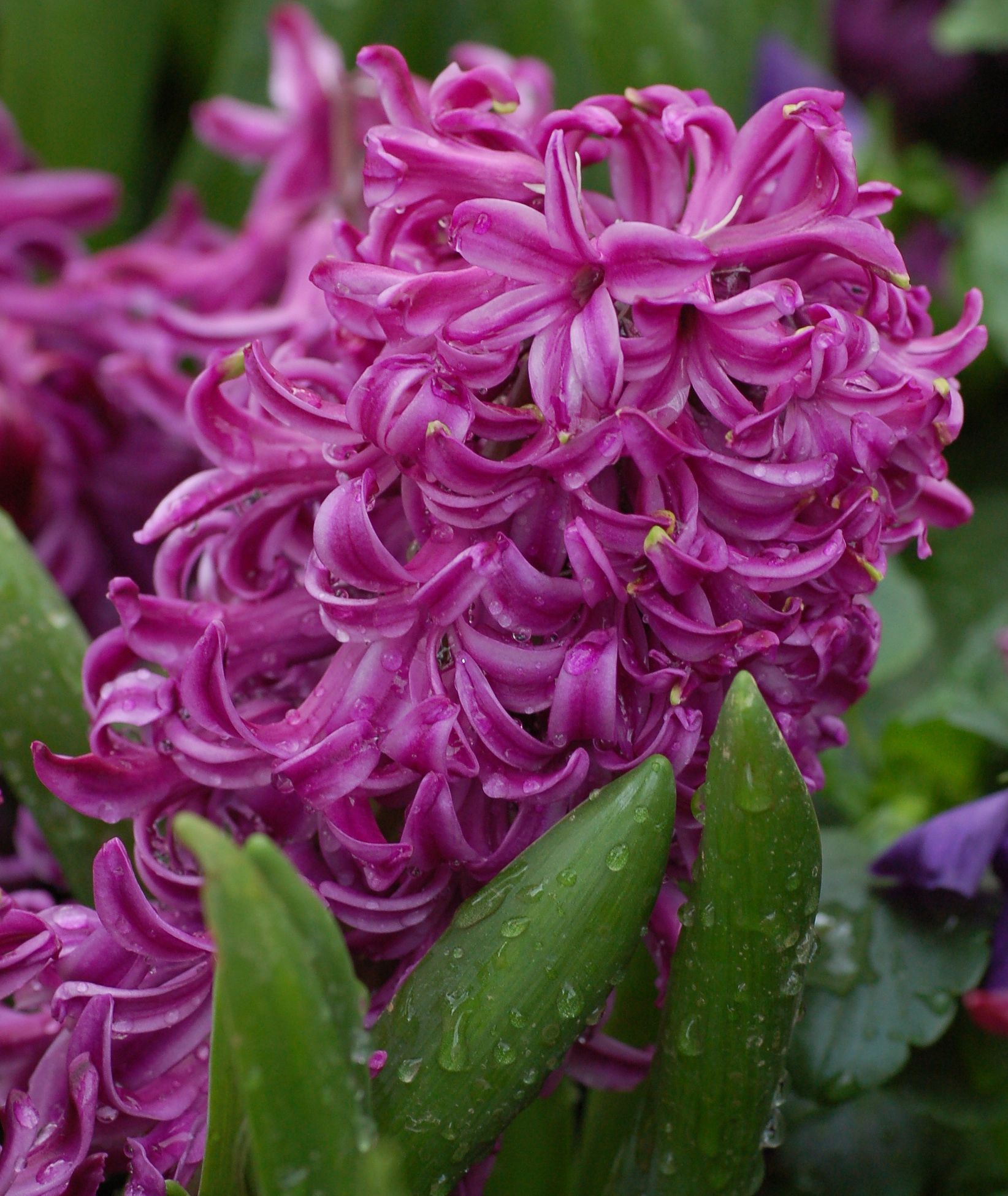 "Hyacinth ""Purple Voice""  dangerous to humans, horses, cats and dogs"