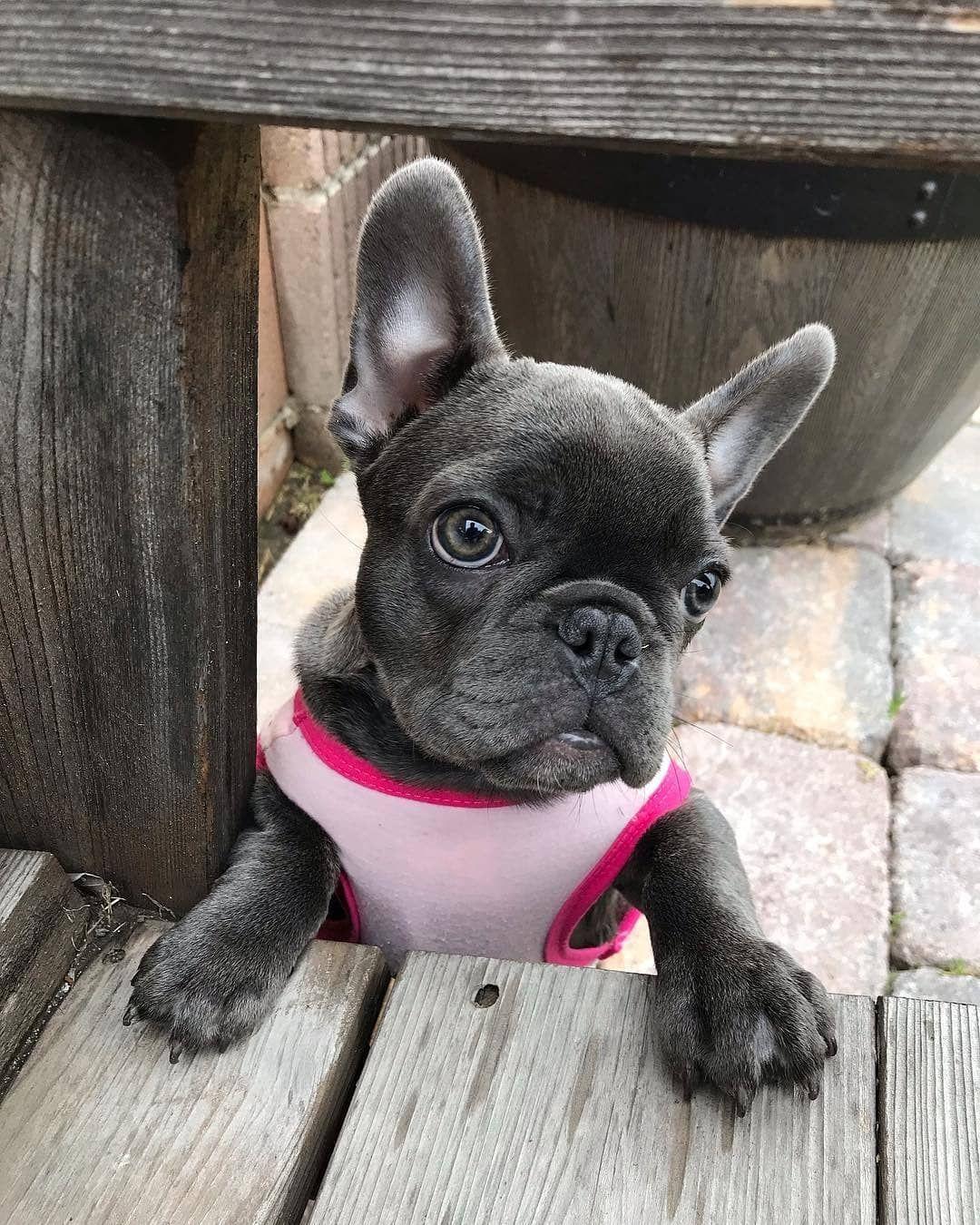R A R I Rarithefrenchie French Bulldog Cute French Bulldog