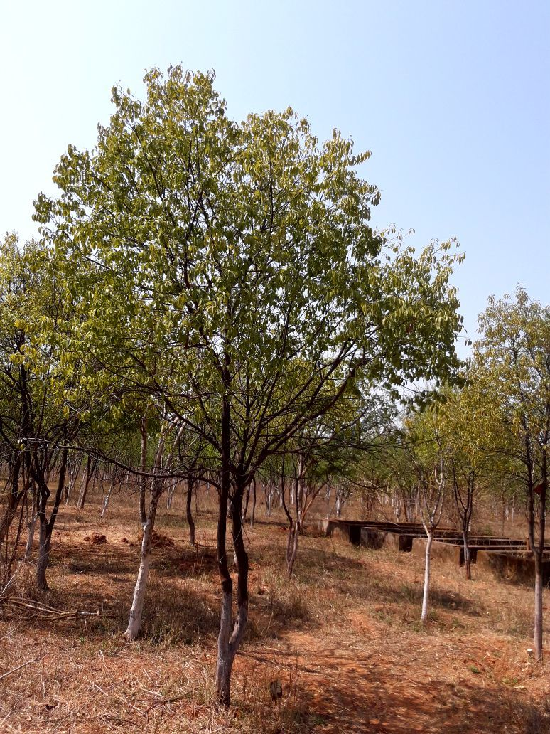 Sandalwood farming is an expansive project  Technically, a