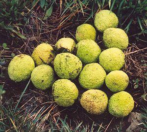 Osage Orange Maclura Pomifera Packet Of 30 Seeds