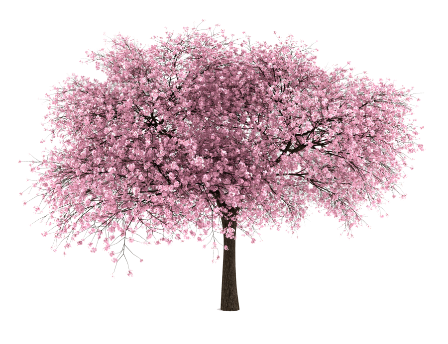 20 Free Tree Png Images Cherry Blossom Entourage Png