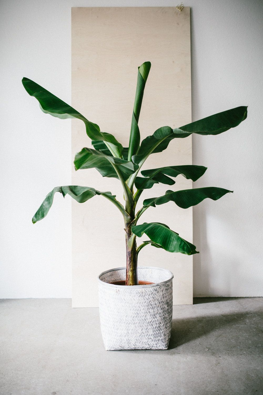 Geliebte Zimmerpflanze des Monats: Bananenpflanze | Florals @NE_86