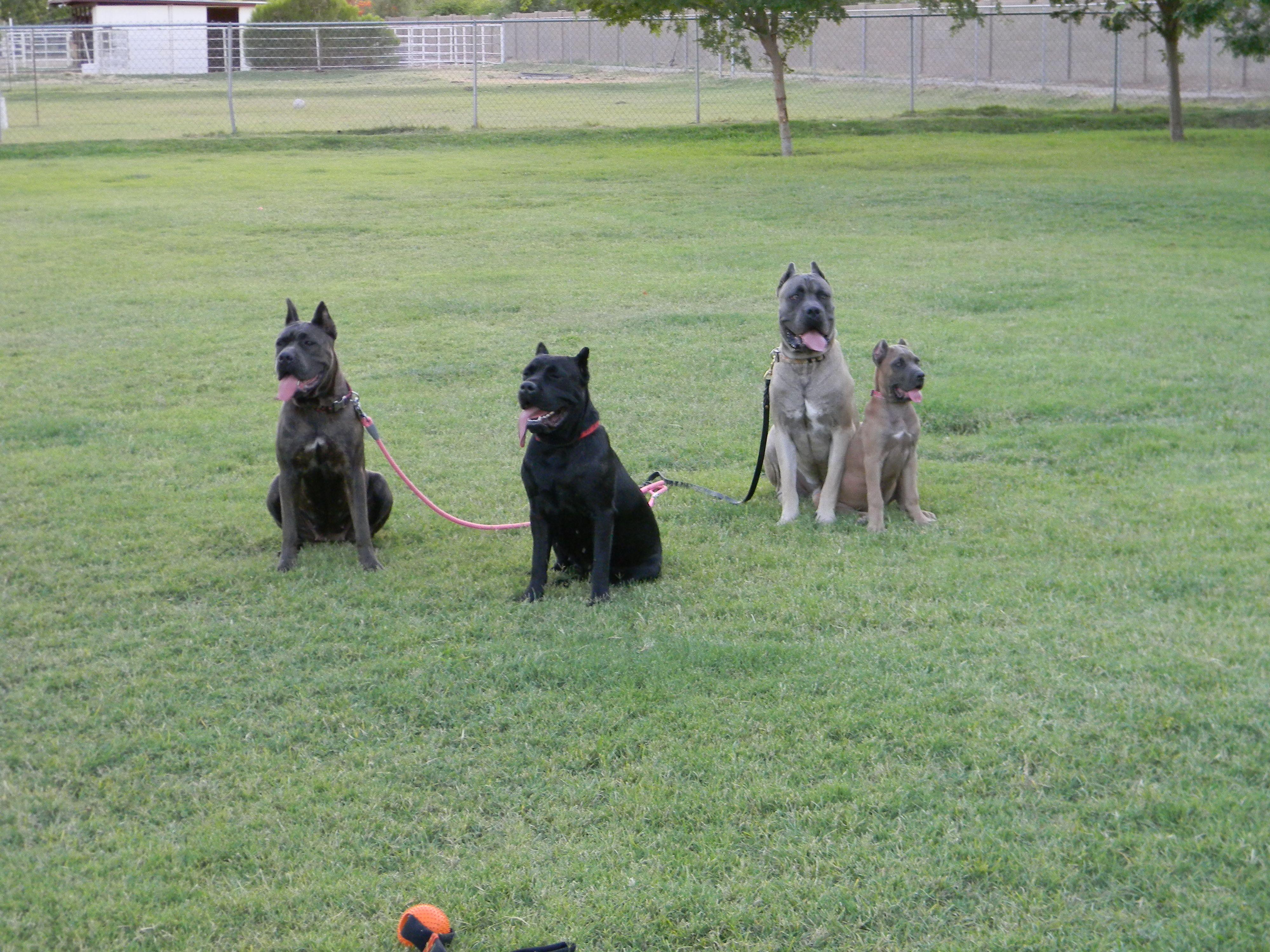 Cane Corso Breeder And Trainer Located In Gilbert Az Cane Corso