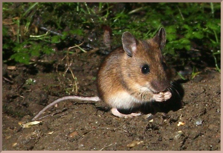 Field Mouse | Pet mice, Cute mouse, Field mouse