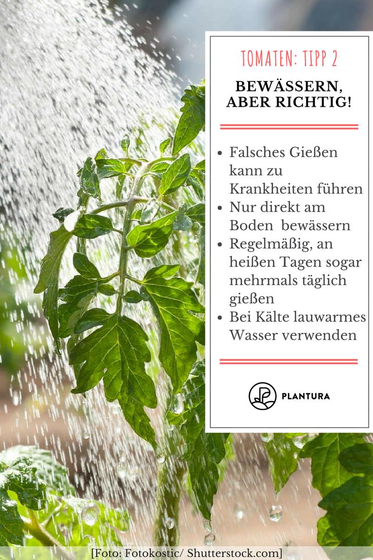 10 Tipps Zur Perfekten Tomate Aus Dem Eigenen Garten Tomaten Garten Pflanzen Garten