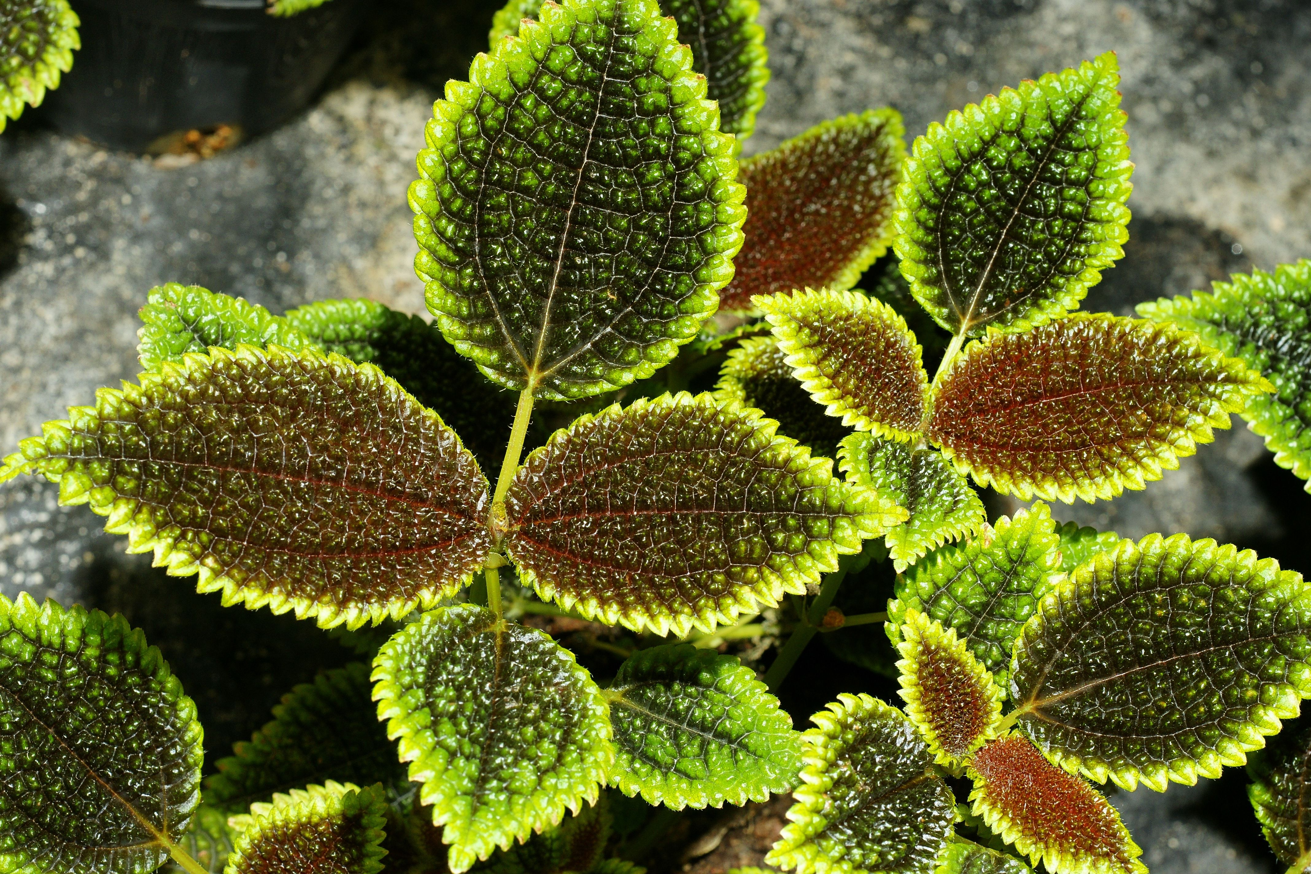 Pilea Involucrata  Friendship Plant