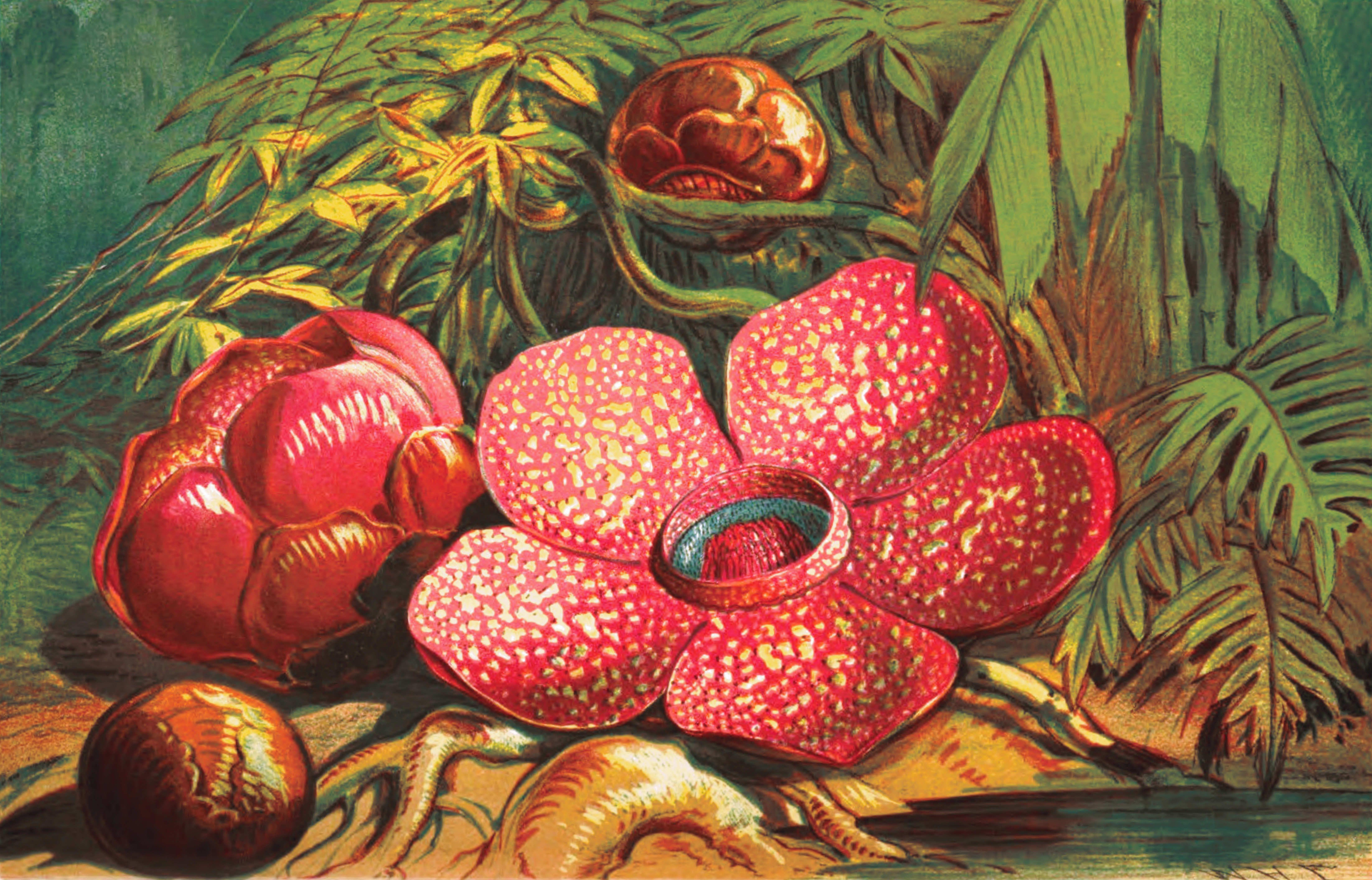 Rafflesia Arnoldii worlds largest flower Seni, Drawing