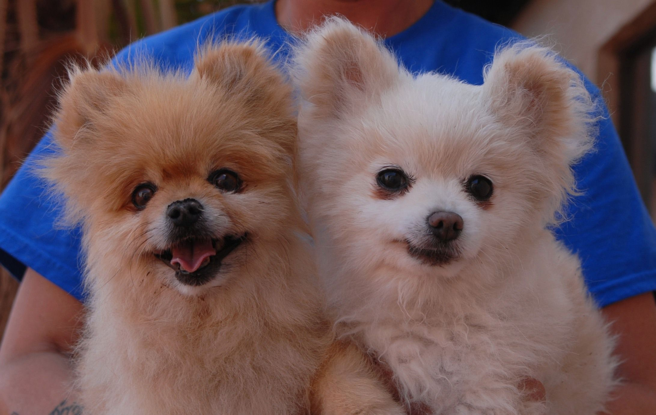 Cory & Snowball are tiny, precious older boys seeking a loving home where they can remain together forever. Their previous owner cited her age and deteriorating health as the reason for surrendering them. The boys are cute Pomeranians, 11 years of age, neutered, good with other dogs, and debuting for adoption today at Nevada SPCA (www.nevadaspca.org). Please help us find them a wonderful home.