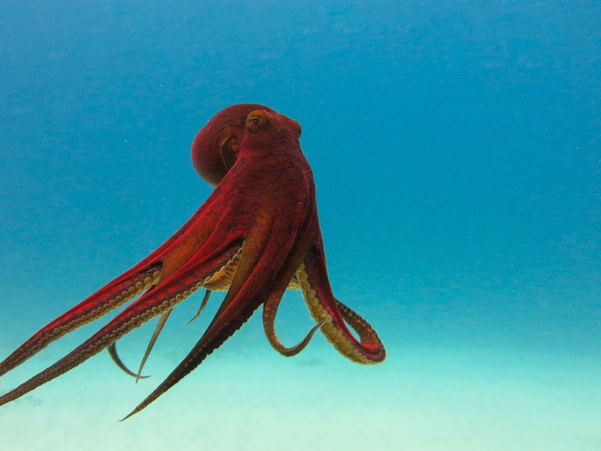 Pin by Chong Vang on Octopi & sunflower Octopus, Animals