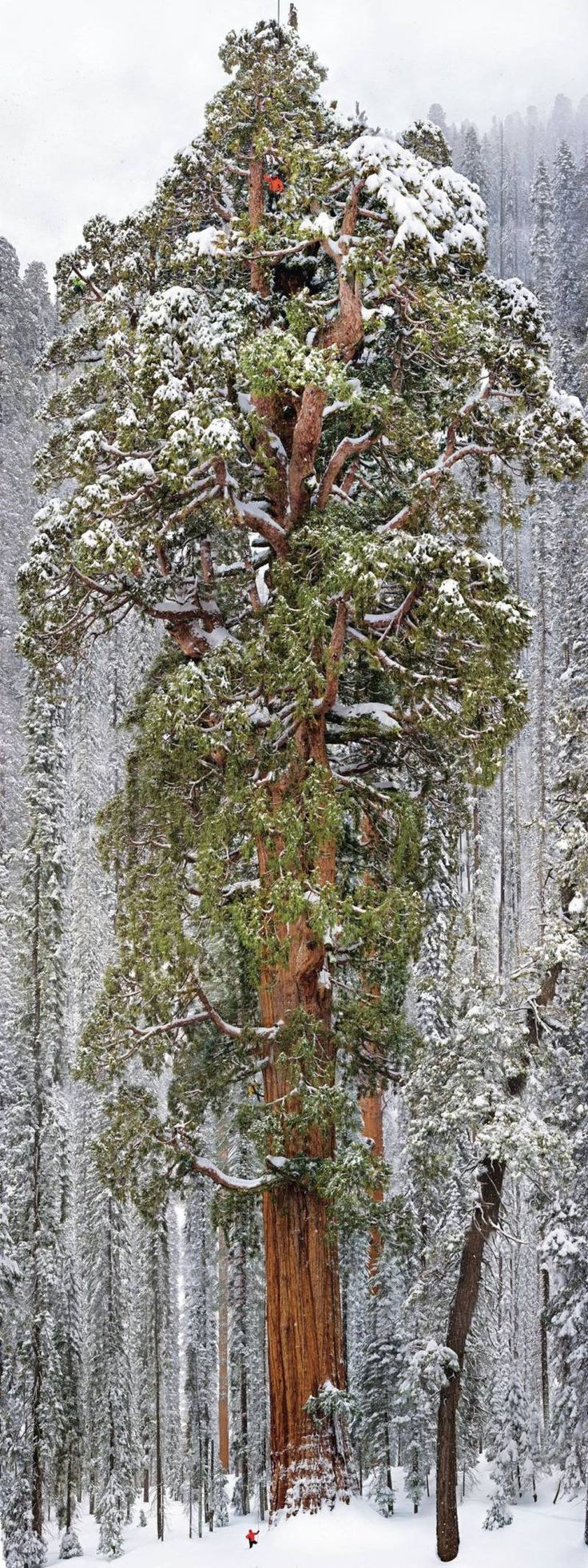 """3200 Year Old Tree......Peeking out above the Sequoia National Park in the Sierra Nevada mountain range is a tree aptly called """"The President"""". The tree extends an incredible 247 feet–or over 20 stories–into the sky and needs to be seen to be truly understood."""