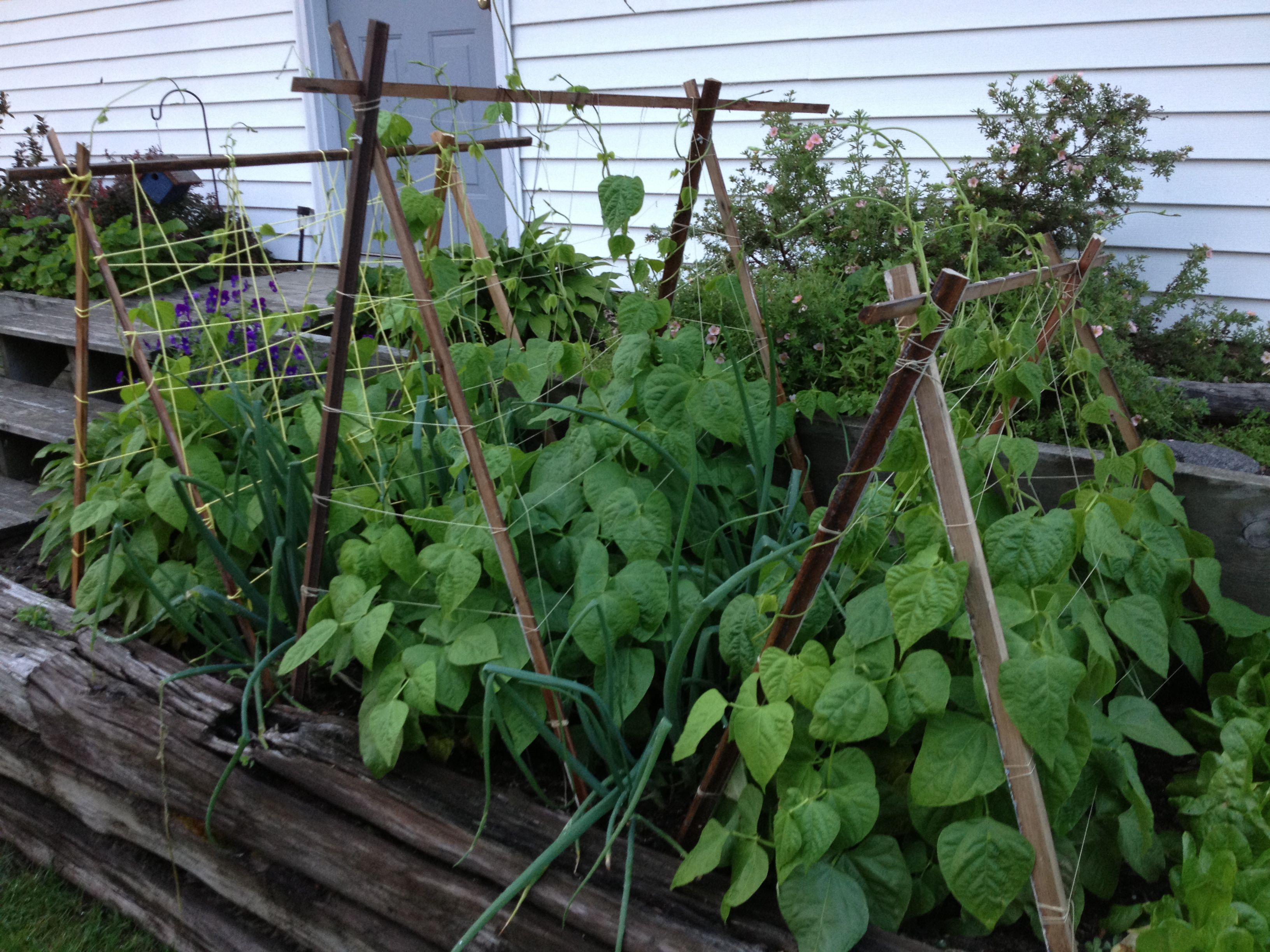 My Green Beans Are Climbing Nicely On The Diy Trellises 400 x 300