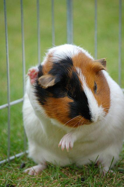 Hello Mit Bildern Susse Tiere Meerschweinchen Tiere