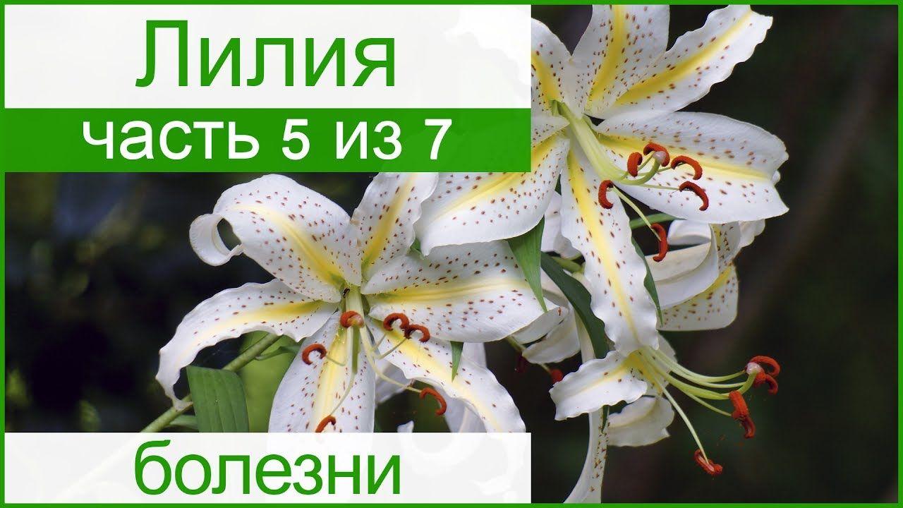 Хвороби лілій і шкідники і боротьба з ними Лилии lilies pinterest