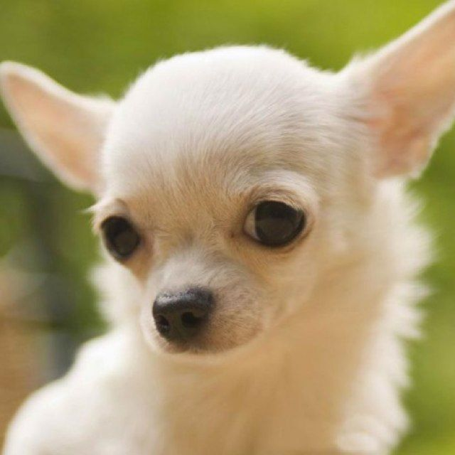 Photopoll Favorite Small Dog Breed Chihuahua Puppies Pets