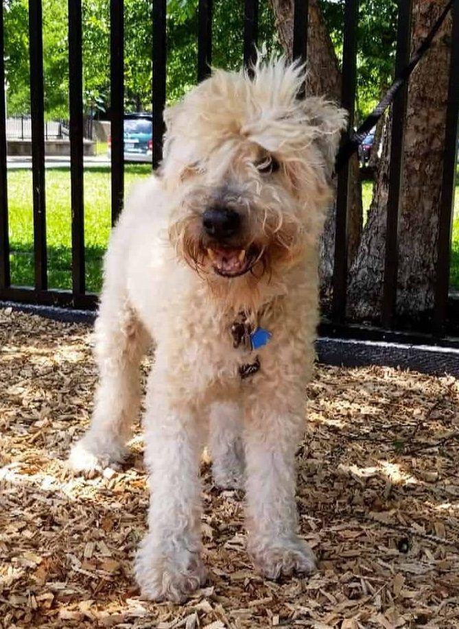 Easton Pa Soft Coated Wheaten Terrier Adoption Meet