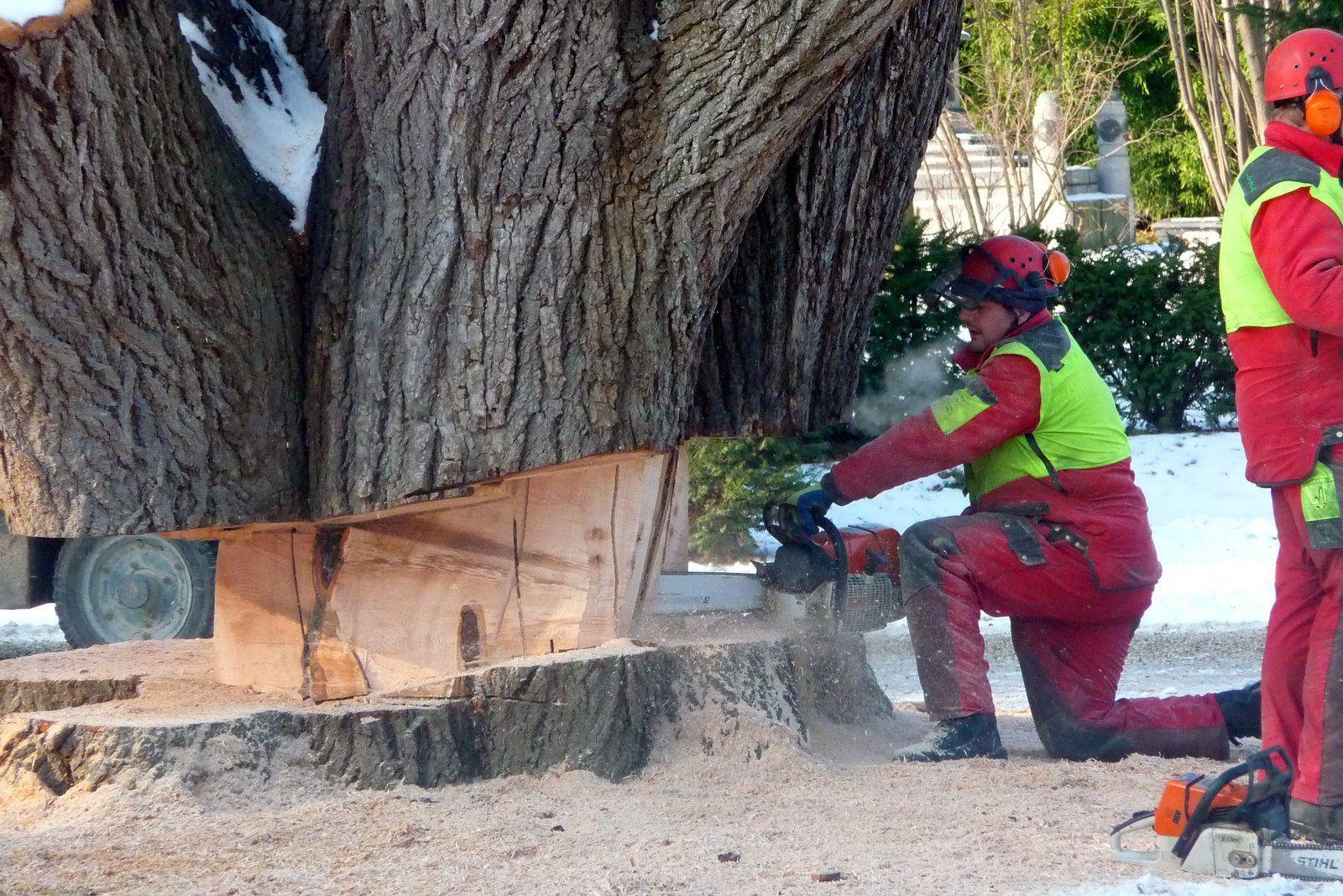 Massive Tree Felling Technique Tree Felling Tree Care