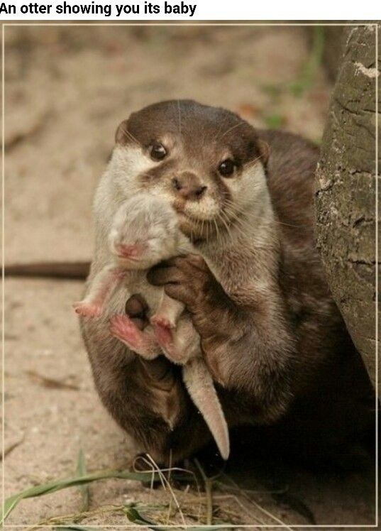 Mommy and baby otter