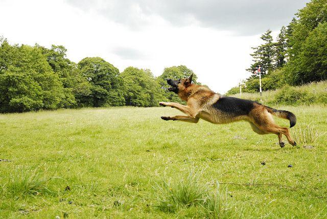 A #German #shepherd in #flight.