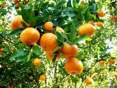 tangerinas na árvore - tangerineira