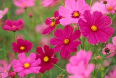 Usda Gardening Zone 5 Lovetoknow Annual Flowers Cosmos Flowers Fast Growing Flowers