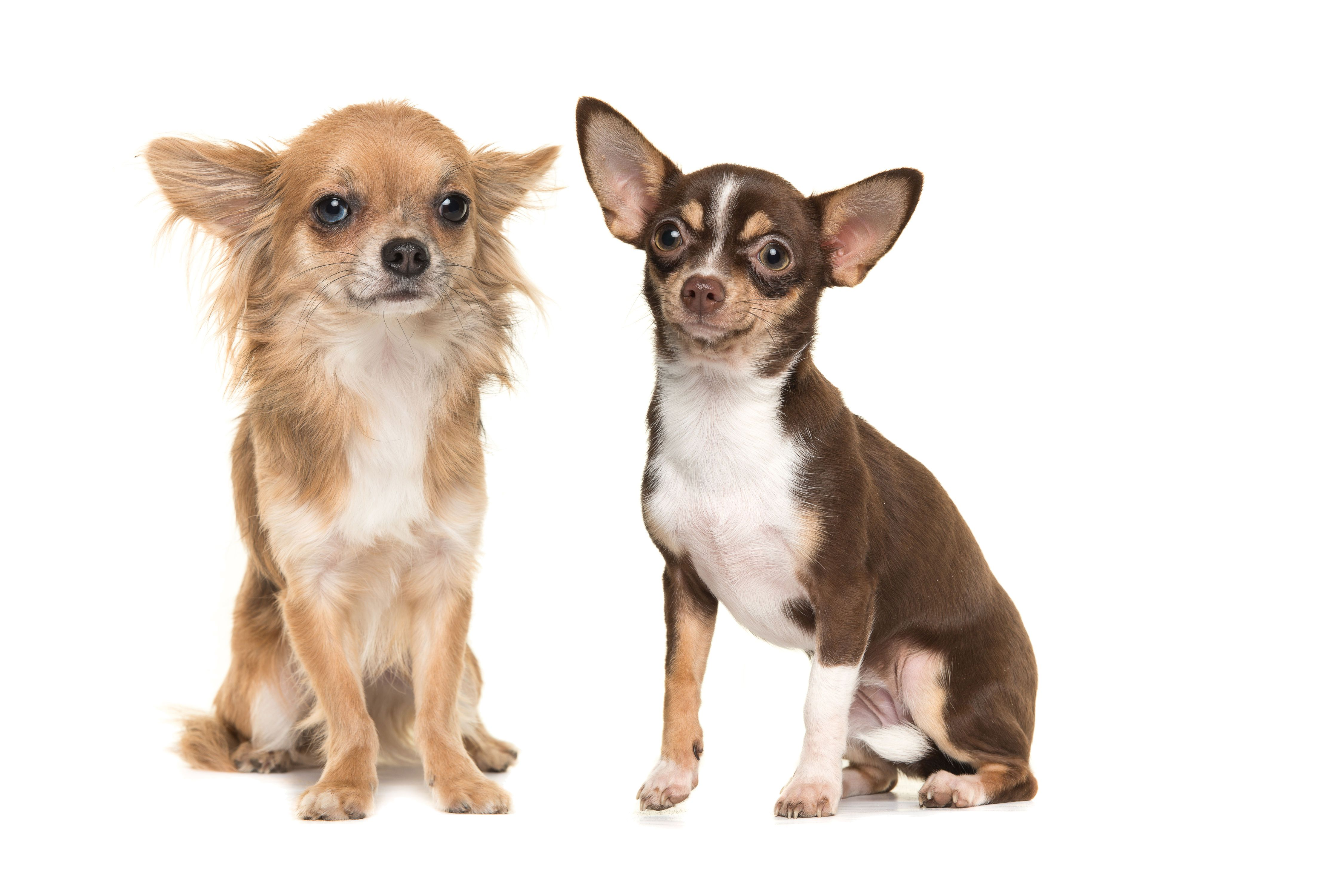 30 Small Dog Breeds That Make Great Pets Dog Breeds Small Dogs Small Dog Breeds