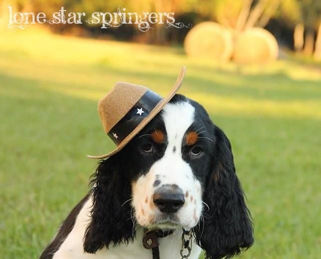 Viggo Our Tri Colored English Springer Spaniel Sire Springer Spaniel English Springer Spaniel Spaniel