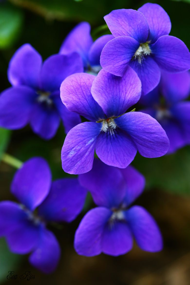 The scent of Maxine's violets stays with me... It must be ...