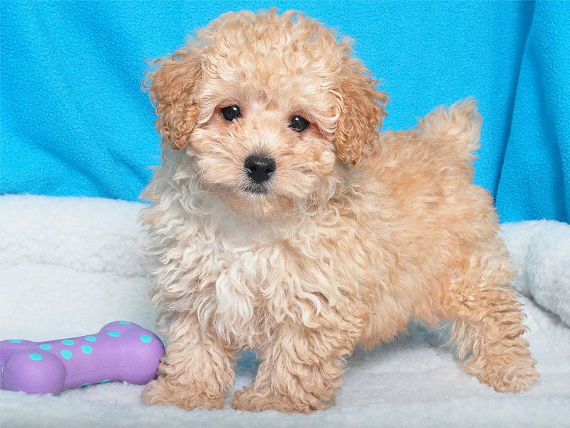 Poodle Male With Images Poodle Puppy Puppies Cute Animals