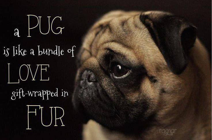 My Pug Obsession Pug Pugs Puppies Thaifernandes