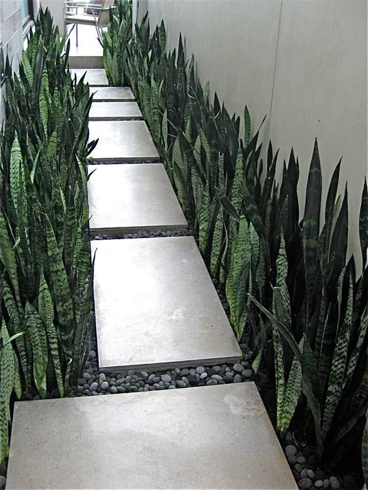 Pasillo de servicio con losetas de cemento y plantas Espada ( Orejas